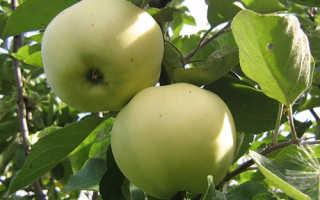 Яблоня 'Папировка' — описание сорта, характеристики