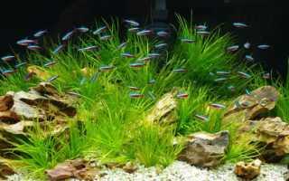 Бликса колючесеменная (Blyxa echinosperma) — описание, выращивание, фото