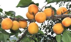Яблоня маньчжурская (Malus manshurica) — описание, выращивание, фото