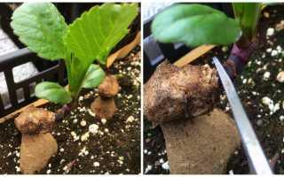 Рабочие способы размножения георгинов: из семян, клубнями, черенками