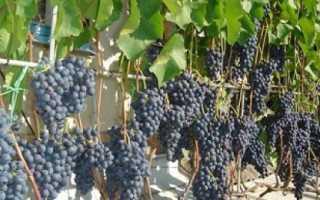 Виноград культурный 'Агат донской' — описание сорта, характеристики