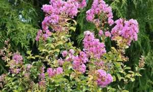 Лагерстремия индийския (Lagerstroemia indica) — описание, выращивание, фото