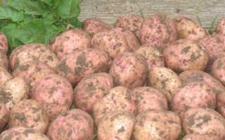 Картофель 'Ильинский' — описание сорта, характеристики