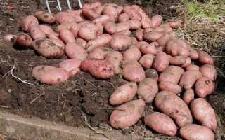 Картофель 'Памир' — описание сорта, характеристики