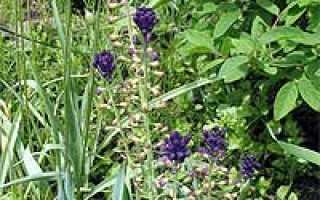Бельвалия (Bellevalia) — описание, выращивание, фото