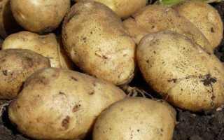 Картофель 'Лыбидь' — описание сорта, характеристики