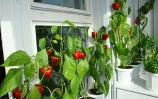Перец кустарниковый 'Бабье лето' — описание сорта, характеристики