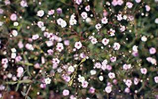 Мирмекофила (Myrmecophila) — описание, выращивание, фото