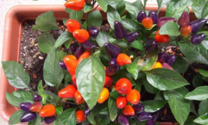 Перец сладкий 'Ярослав' — описание сорта, характеристики