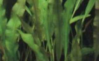 Апоногетон волнистый (Aponogeton undulatus) — описание, выращивание, фото