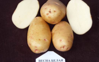 Картофель 'Весна белая' — описание сорта, характеристики