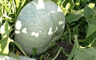Тыква твердокорая 'Грибовская кустовая' — описание сорта, характеристики