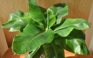 Банан заостренный (Musa acuminata) — описание, выращивание, фото