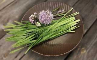 Лук-слизун (Allium nutans) — описание, выращивание, фото