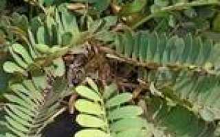 Замия карликовая (Zamia pygmaea) — описание, выращивание, фото