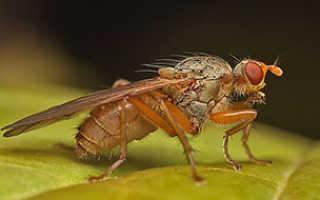 Луковая муха — взрослое насекомое и личинка