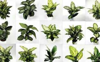 Диффенбахия пятнистая 'Компакта' (Dieffenbachia maculata 'Compacta') — описание, выращивание, фото