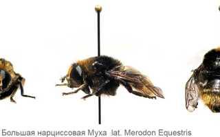 Нарциссовая муха — имаго и личинки