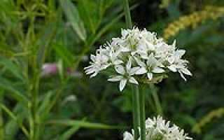 Лук душистый (Allium ramosum) — описание, выращивание, фото