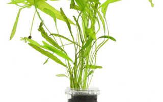 Апоногетон жестколистный (Aponogeton rigidifolius) — описание, выращивание, фото