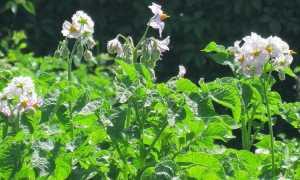 Картофель (Solanum tuberosum) — описание, выращивание, фото