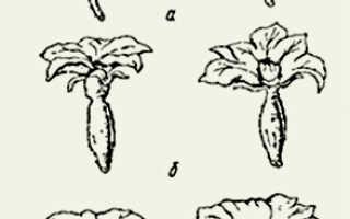 Огурец обыкновенный 'Северский' — описание сорта, характеристики