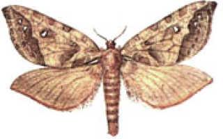 Тонкопряд — чем вредны бабочки и гусеницы