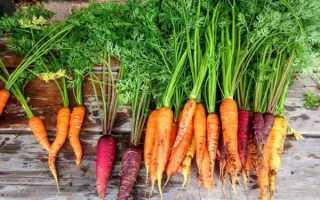 Морковь посевная 'Артек' — описание сорта, характеристики