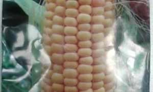 Кукуруза сахарная 'Кубанская консервная 148' — описание сорта, характеристики