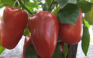 Перец сладкий 'Нежность' — описание сорта, характеристики