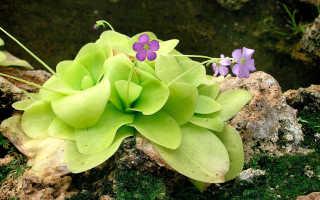 Жирянка (Pinguicula) — описание, выращивание, фото