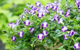 Торения Фурнье (Torenia fournieri) — описание, выращивание, фото