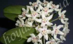 Хойя южная (Hoya australis) — описание, выращивание, фото