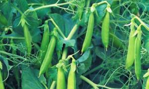 Горох овощной 'Ранний 301' — описание сорта, характеристики