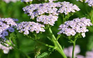 Тысячелистник (Achillea) — описание, выращивание, фото