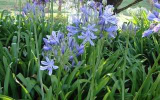 Южноафриканские луковичные: выращивание и уход