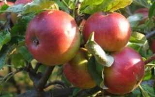Яблоня 'Жигулевское' — описание сорта, характеристики