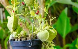 Дисхидия нуммалария (Dischidia nummularia) — описание, выращивание, фото