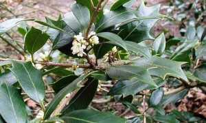 Османтус разнолистный (Osmanthus heterophyllus) — описание, выращивание, фото