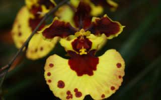 Толумния (Tolumnia) — описание, выращивание, фото