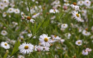Болтония лотюра (Boltonia lautureana) — описание, выращивание, фото