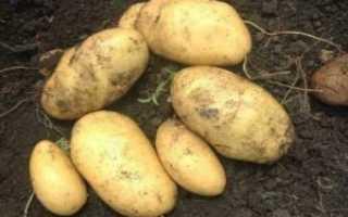 Картофель 'Лорх' — описание сорта, характеристики