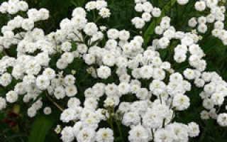 Тысячелистник птармика (Achillea ptarmica) — описание, выращивание, фото