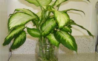 Диффенбахия баузе (Dieffenbachia bausei) — описание, выращивание, фото