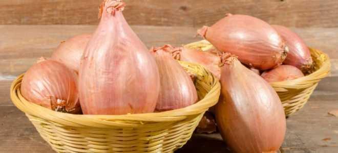 Лук-шалот (Allium ascalonicum) — описание, выращивание, фото