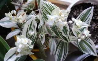 Традесканция белоцветковая (Tradescantia albiflora) — описание, выращивание, фото