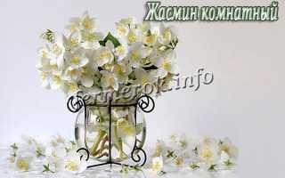 Жасмин первоцветный (Jasminum primulinum) — описание, выращивание, фото