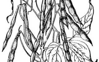 Фасоль обыкновенная 'Зеленостручная 517' — описание сорта, характеристики