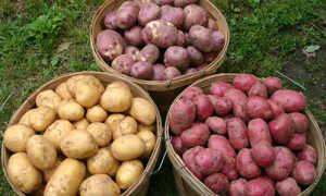 Картофель 'Белоярский ранний' — описание сорта, характеристики