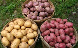 Картофель 'Планта' — описание сорта, характеристики